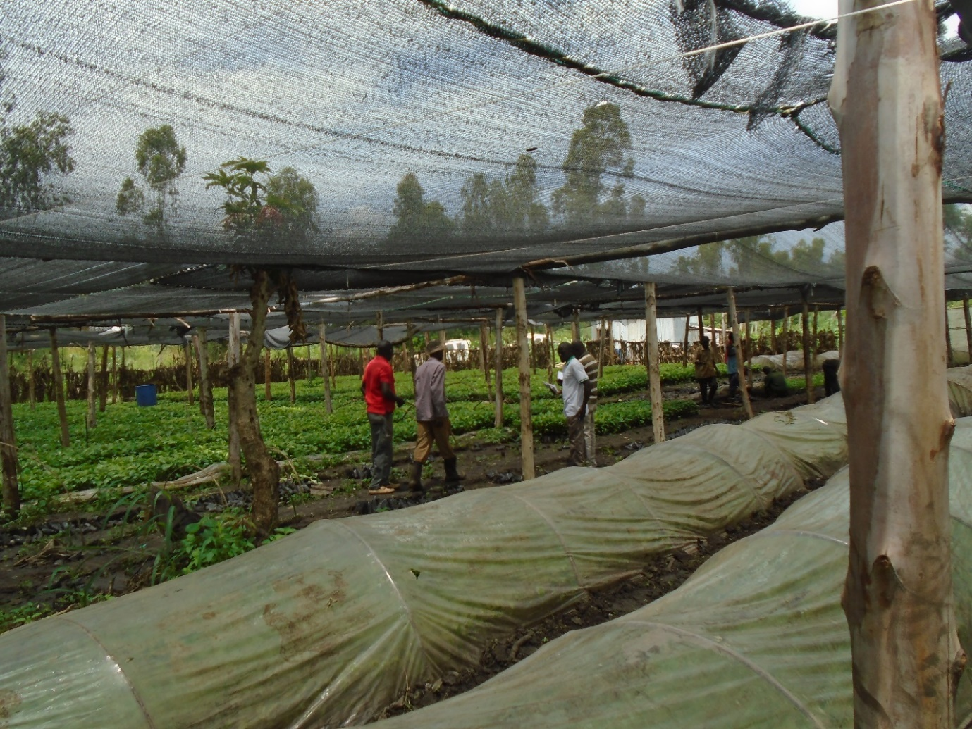 Picture of trees growing under a net with workers tending the saplings